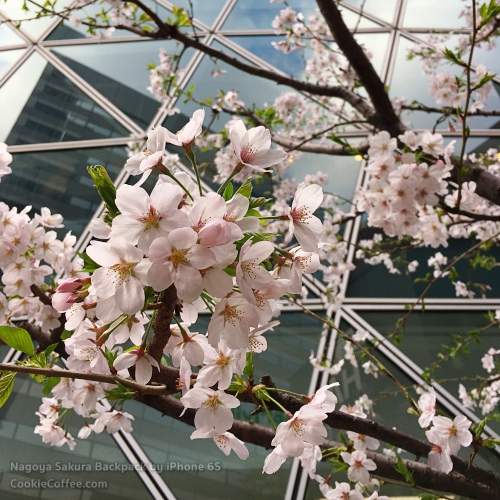 sakura-nagoya-cherry-blossom-hanami-zoom-full-bloom-japan-iphone-6s-se