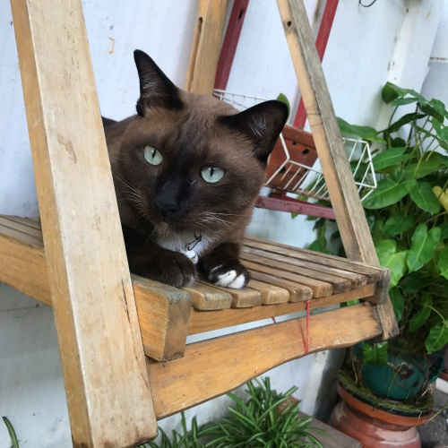 ryoma-thai-siamese-cat-swing-iphone-7-plus-dual-camera-review